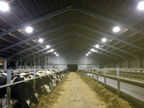 LED lights in a dairy cow cubicle shed save money and aid cow welfare & DairyFlow supply and install LED lighting for farm buildings