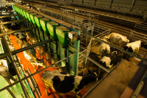 Cows exit a herringbone milking parlour installed by DairyFlow