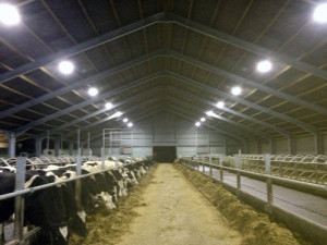 LED lights in a dairy cow cubicle shed save money and aid cow welfare