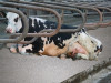 A cow lies on cubicle kept clean and dry with ZorbiSan Active