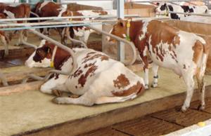 Cow bedding